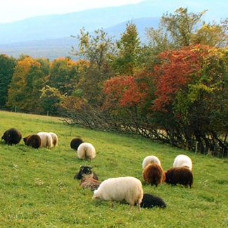 Dancing Lamb Farm & Icelandic Sheep Dairy in Coxsackie